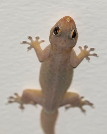 Hawaiian Lizards