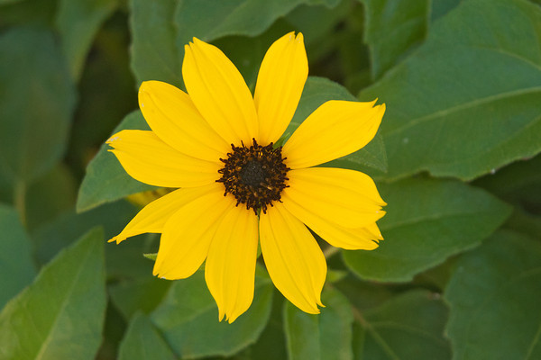 Sunflower-Dune - Sanibel Island, FL