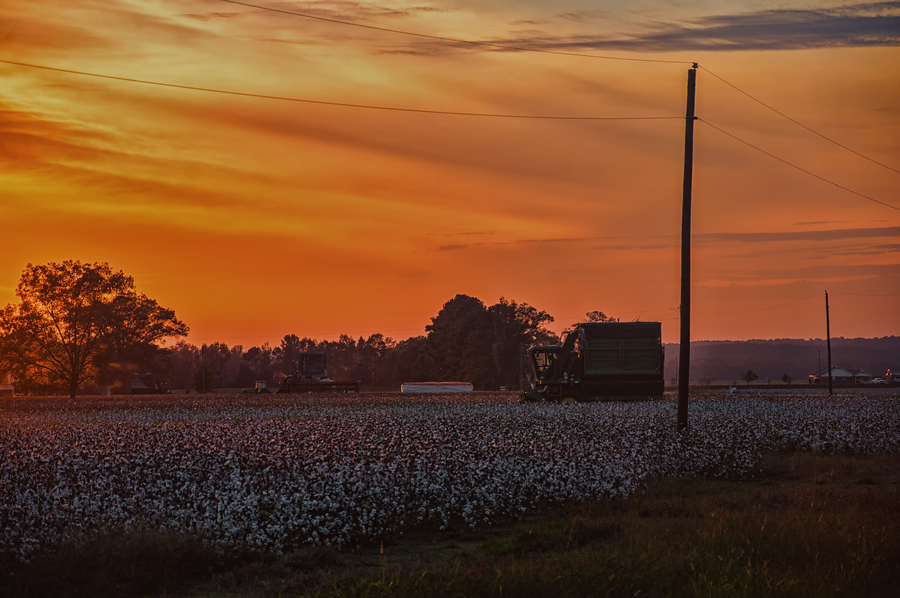 Alabama Cotton Fields