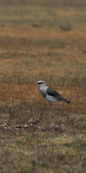 Plover at Cotopaxi