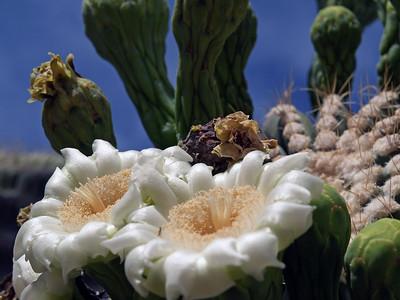 Seguaro