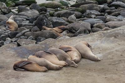 Eared Seals, Sea Lions
