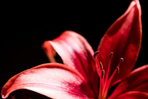 Orange Asiatic Lilies II