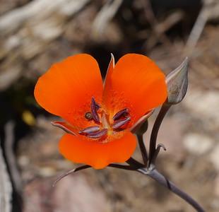 New Calochortus species (new to us)