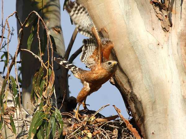 Red-shouldered Hawk Nest May - June 2009