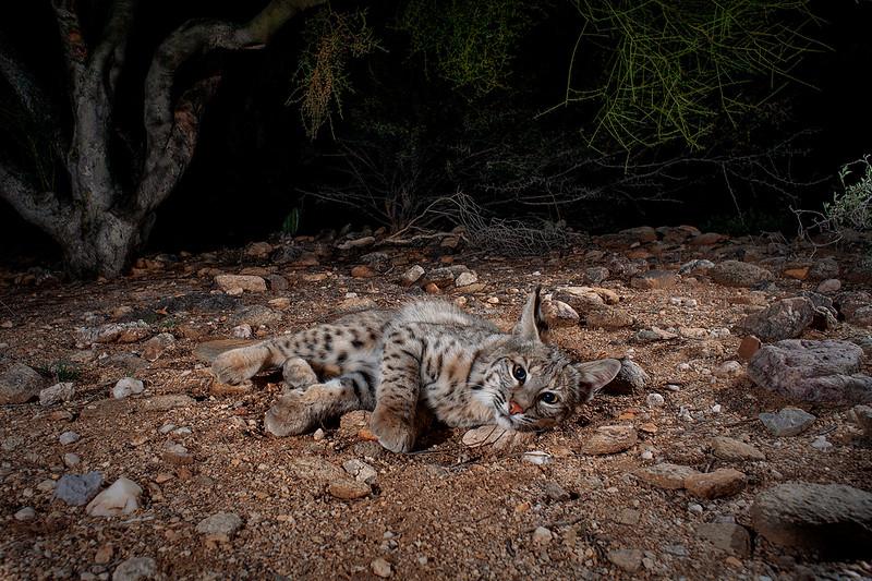 bobcat398.jpg