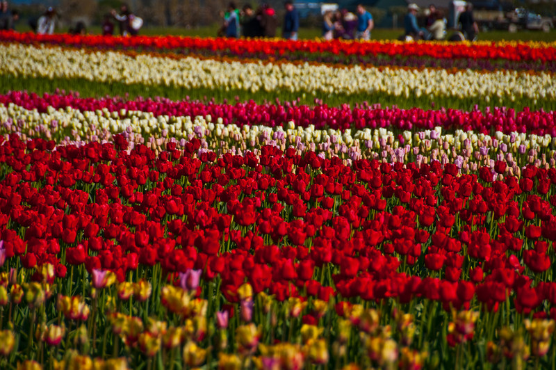 TulipFestival-178.jpg