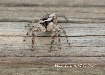 Grey Jumping Spiders