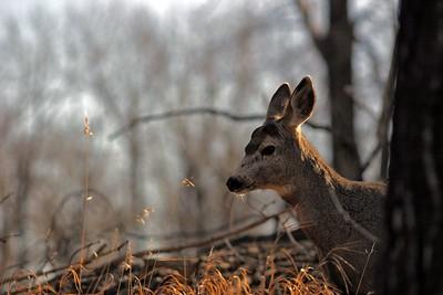 Basic Deer