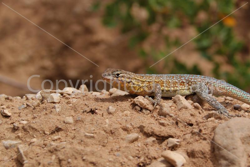 RR38 Lizard.JPG