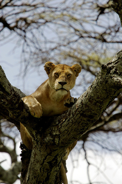 . A lioness lounges in the forks of a tree in Serengeti National Park, Tanzania, Africa.