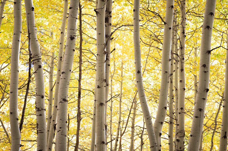 Aspens in a row