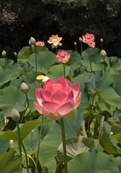 20080103_1251 Lotus
