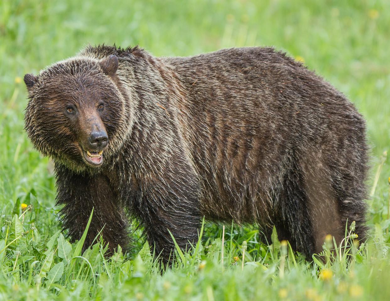 Grizzly Bear - Jasper