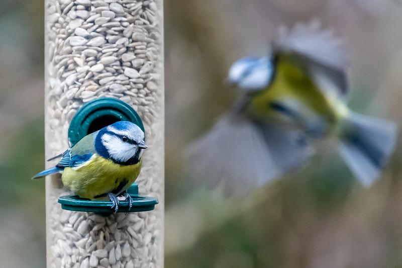 Blue Tits at Warnham Nature Reserve