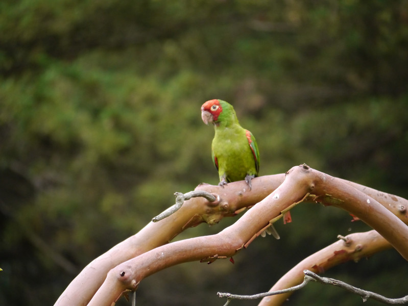 Parakeet, Red-masked -photo 4