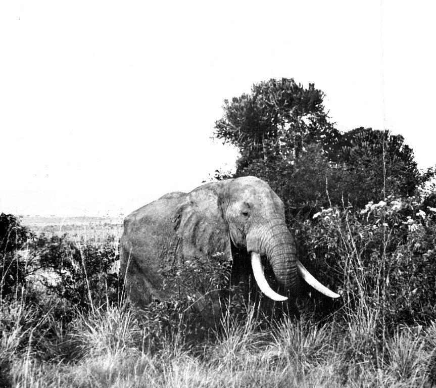 . MAR 22 1950  Shooting elephants with a camera is much more fun and much more practical. The behemoths are not hard to track down but it takes well-placed shots from large-caliber rifles to bring them down. This big tusker fell victim only to the camera.  Credit: The Denver Post