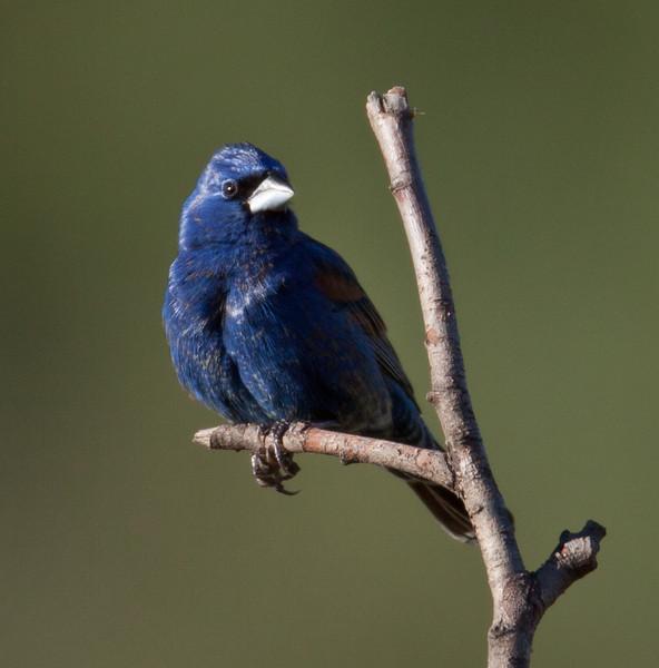 Blue Grosbeak Camp Pendleton 2010 05 04.CR2