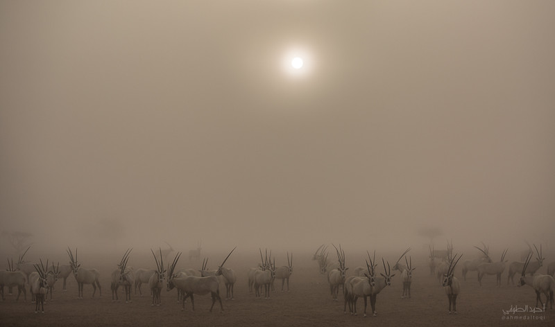 Arabian Oryx (52).jpg