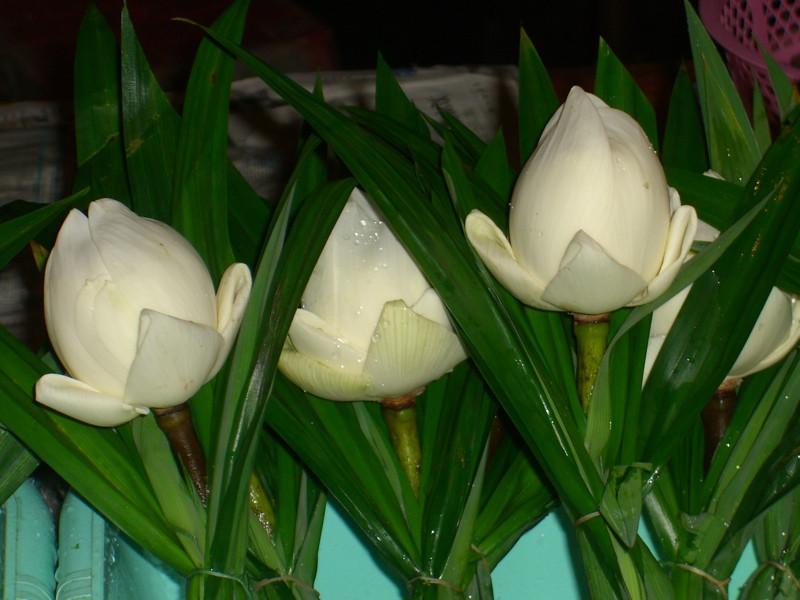 White Flowers - Ranong, Thailand