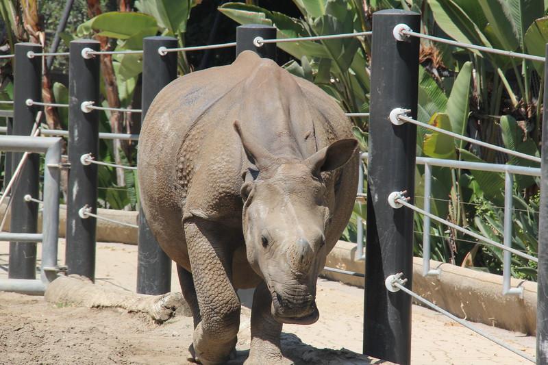 20170807-061 - San Diego Zoo - Rhinoceros.JPG