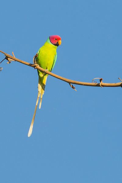 Plum-headed Parakeet - Male - Pench National Park, Madhya Pradesh, India
