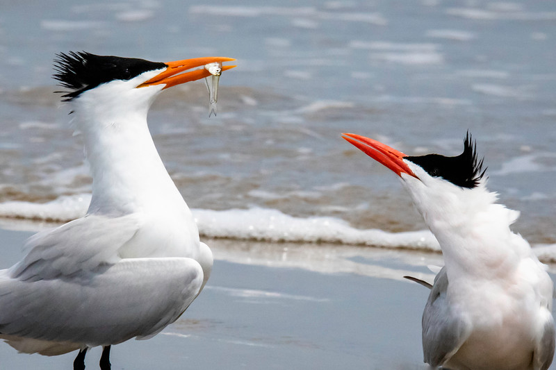 Two Royal Terns_minnow_Bolivar_664A8988.jpg