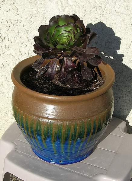 Aeonium atropurpureum 'Schwartzkopf'  (Black Rose, Black Tree) Native to Canary Islands, Cape Verde Isles and Morocco.