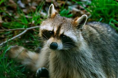 Raccoon - Pesukarhu