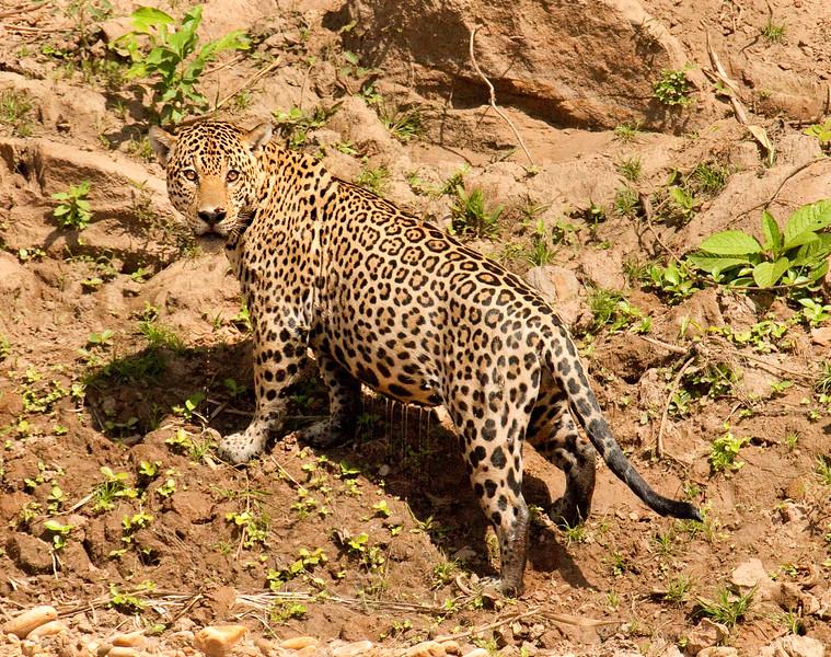 Jaguar on the banks of the Tambopata River, Amazon Basin, Peru.