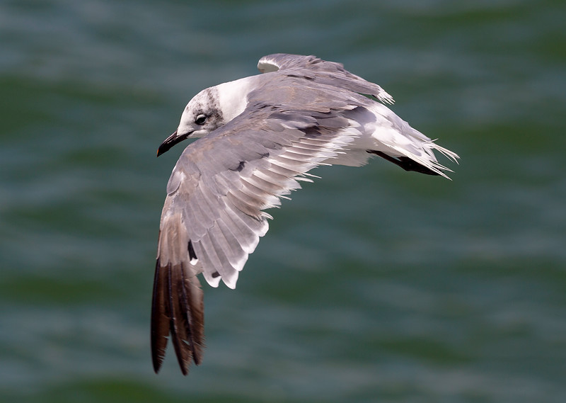 Immature Laughing gull in flight.   First photo ...