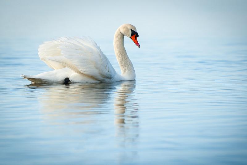 swan 4x6.jpg