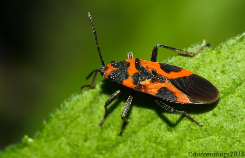 False Milkweed Bug, Lygaeus turcicus, from Iowa.