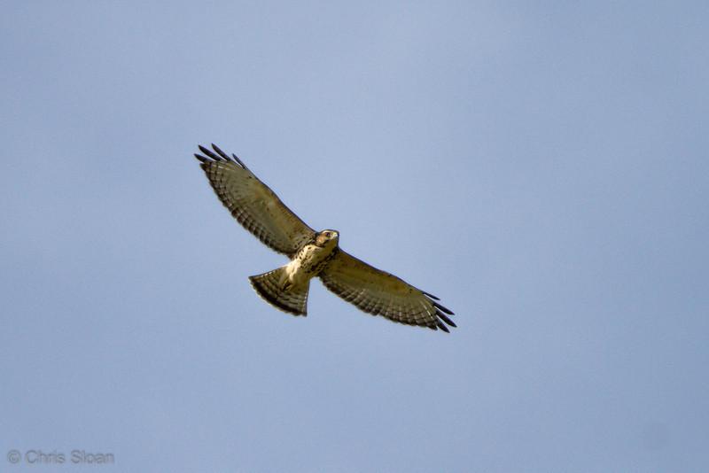 Broad-winged Hawk juvenile at Duck River Unit, TNNWR, TN (08-18-2012)-16.jpg