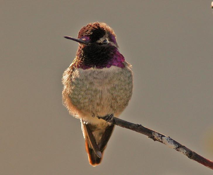Anna's Hummingbird  (Crissy Field, SF)