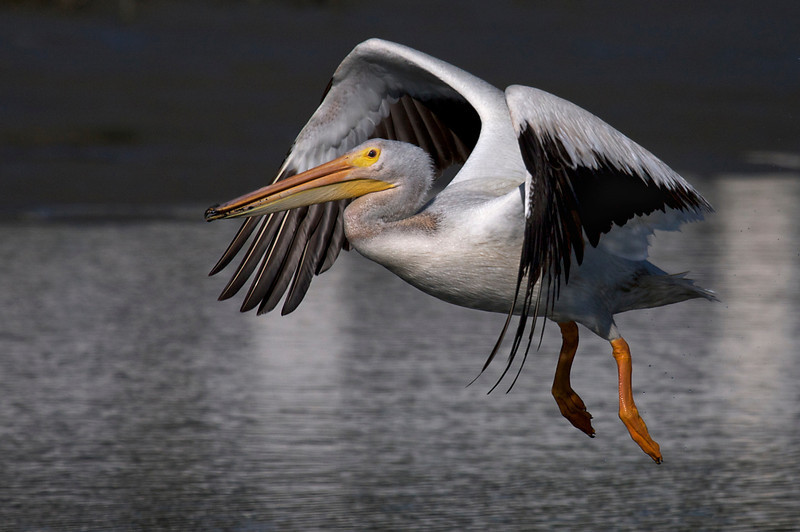 American White Pelican flight series (frame 9)