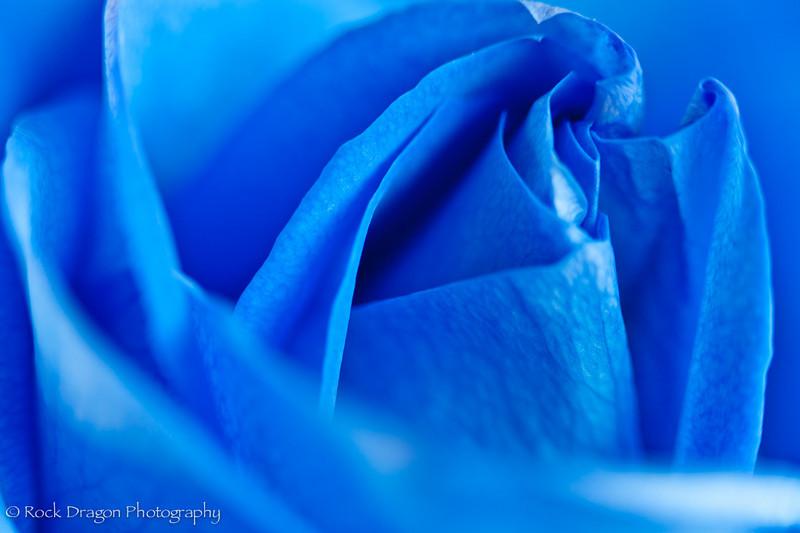 Blue_Rose-5.jpg