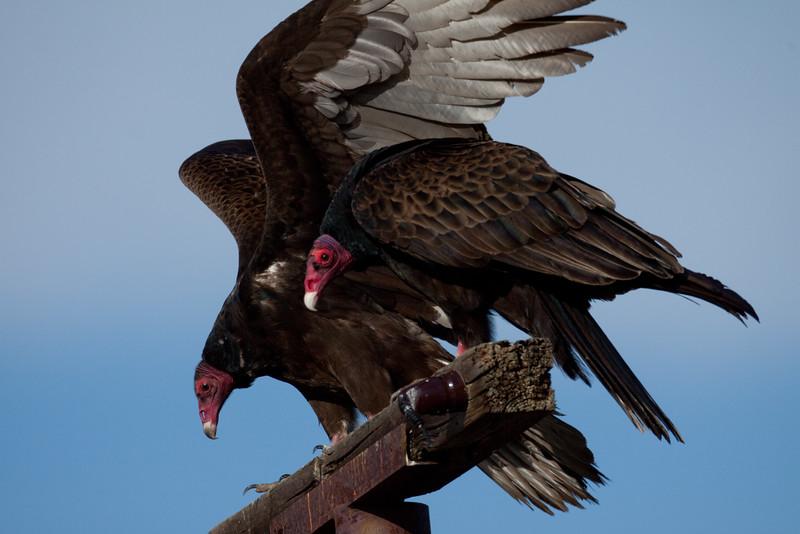 Turkey Vulture Camp  Pendleton Ca 01 26 10