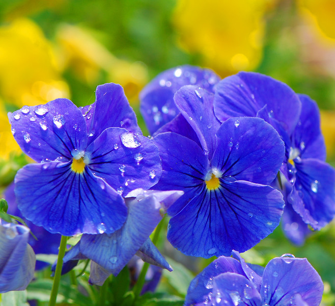 bluepansies.jpg