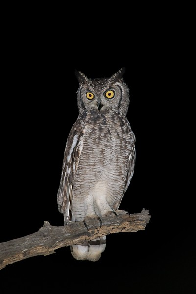 African Spotted Eagle-owl