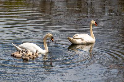 Jenny Pond Swans  5/7/20