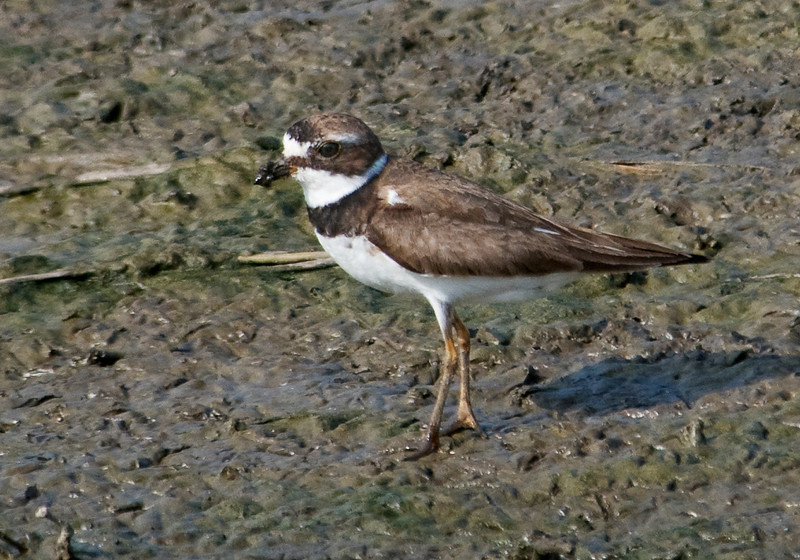 Plover - Semi-palmated - Milbank, SD