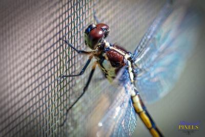 2018-06-23 Dragonfly Macro