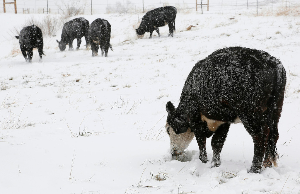 . Cattle nose through snow to get to the green grass below, in Arvada, Colorado May 1, 2013. Shovels were out in Colorado on Wednesday, after a spring snowstorm dumped more than a foot of snow.  REUTERS/Rick Wilking