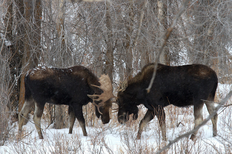 moose fight 1.19.18.jpg