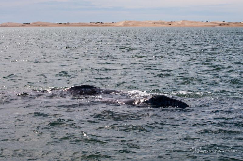 Mexico-Loreto-Whale-1865.jpg