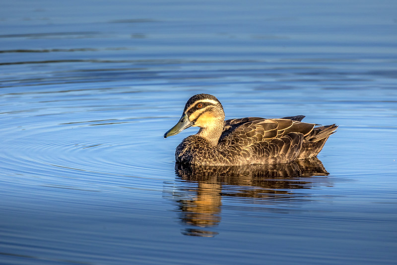 Pacific black duck, Sunshine Coast