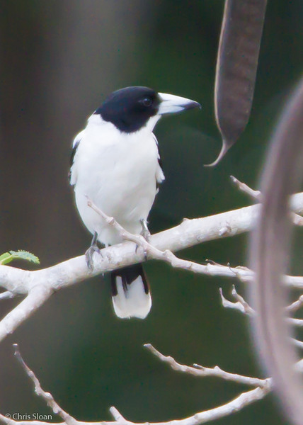 Black-backed Butcherbird at Pacific Adventist University, Port Moresby, Papua New Guinea (09-29-2013) 009-537.jpg