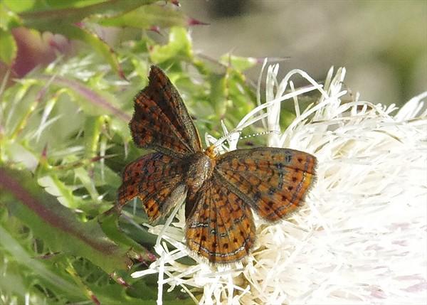 Little MetalmarkCalephelis virginiensis
