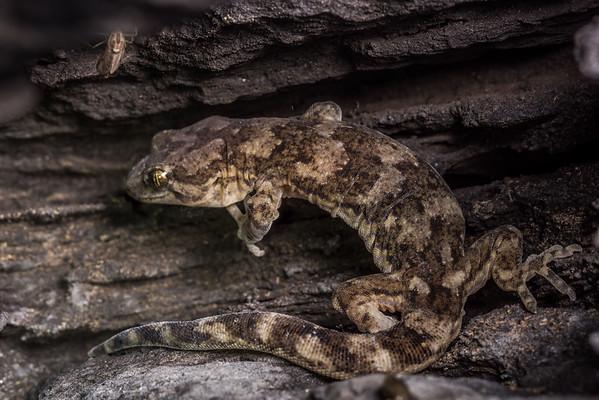 Kōrero gecko
